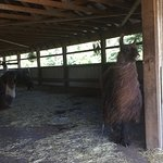 Llamas staying cool in the barn