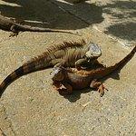 Iguana 2 step