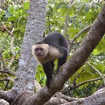 Capuchin monkey from deck