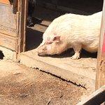 こんな可愛い豚ちゃんもいます。