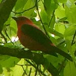 Scarlet Tanager on the Kingsport Birding Trail (KBT) / Exchange Place