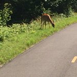 A deer on the path outside Mt Tremblant
