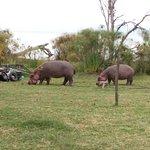 Zona donde los hipopótamos comen