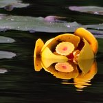 Reflecting on a flower in Lake Placid