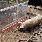 The main hog