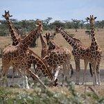 giraffes visiting the waterhole outside Porini Rhino camp