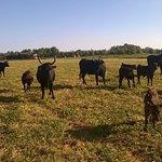visite des taureaux... enfin des vaches