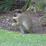 Green Monkey at Bayfield House