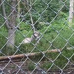 One of Wolves at Preserve
