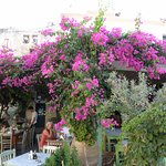 Bougainvillea. 30 Year old at restaurant.