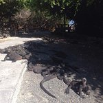 Iguanas por el camino