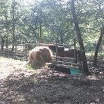 Lo stallone del bosco