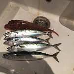 Results of a days fishing from Chesil Beach (1 mile from Hote)