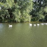 Swans along the River Cam