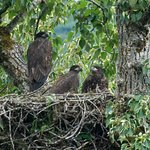 3 young eagles in a single nest!
