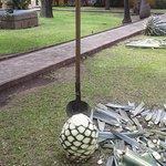 La piña de agave ya limpia de hojas