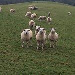 Last year's lambs in a field.