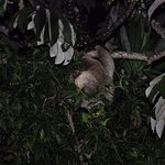 Sloth, two toed