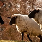 Meet our sheep and feed them their favourite:apples!
