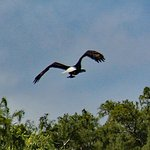 Bald eagle in flight taken from the Waccamaw :Lady