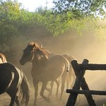 Horses coming in from the pasture in the early morning!