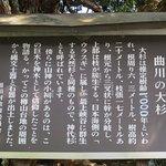 Tall Cedar Tree in Kosugi Foto