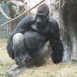 So Handsome- Silverback Gorilla
