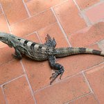 Iguanas at lunch and at the pool