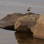 Dipper Bird taken from Deck