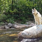 The Pemigewasset River with Alaskan Klee Kai enjoying the sounds and view.