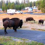 Bison in the campground. Loved seeing them!