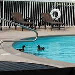 This is a picture of the ducks in the pool.