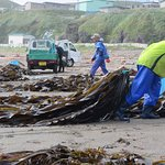 Kelp/Kombu harvesting on the beach - 10 mins walk from the hotel.