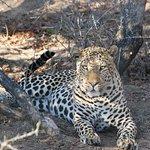 Diesem schönen Leoparden konnten wir so lange so nah sein - was für ein Gefühl!