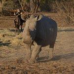 Ein spielendes Rhino-Jungtier (ca. 2 Jahre alt) in der Abendsonne.
