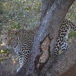 Unglaublich schön! Auch diesen Leoparden durften wir lange beobachten.