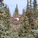 Caribou on our way out to savage river trail