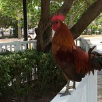 Roosters Run Free In Key West And Crow Often So Don't Be Startled.