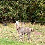 les Alpagas s'arrêtent prendre la pause