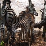 Zebras in the shade.