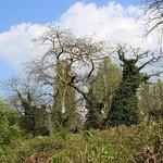 деревья, покрытые плющом