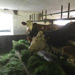 Dairy cow in the barn (not in the Hotel !)