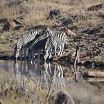 Zebras with reflection
