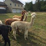 Foto de SpinnAcres Alpaca Farm Retreat