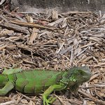 iguanas run free at Casa Marina