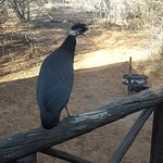 Guinea fowls popping in