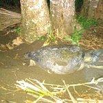 tortuga marina desovando