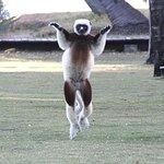 Dancing lemur just in front of restaurant