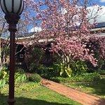 80 year plus Magnolia Tree in bloom