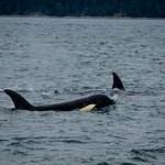 Orcas near the beginning of the trip